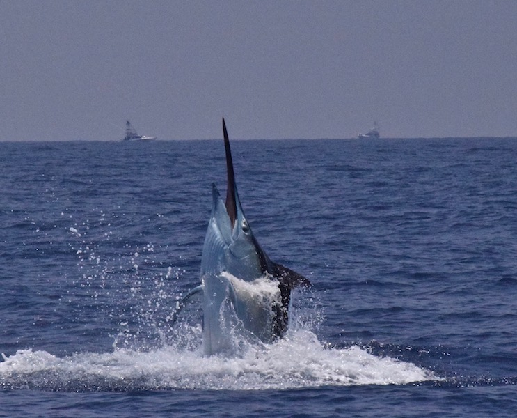 Cairns Giant Black Marlin -Fishing Charters Cairns